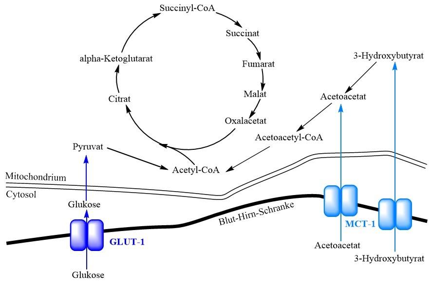 Schema des zerebralen Glukose- und Ketonkörper-Metabolismus.